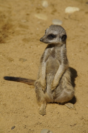 meerkat-424433_1920