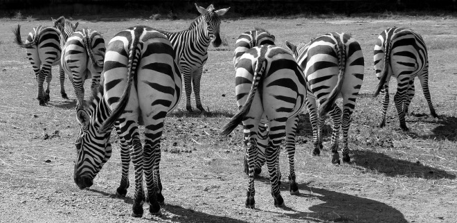 zebras-1081445_1280.jpg